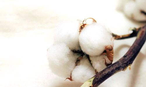 色白で繊維長も長く、なめらかで綺麗なコットンです。フェアトレードコットンである以前に非常に優れた綿花です。